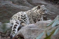 Snöleoparder Arkivfoto