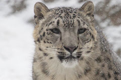 Snöleoparder Arkivbild