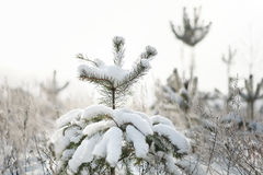 Snön på filialerna av ett träd Royaltyfria Bilder