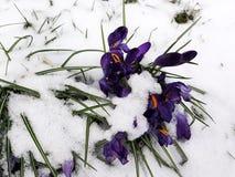 Snönedgång på krokusblommor Royaltyfri Fotografi