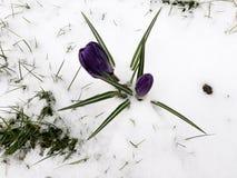 Snönedgång på krokusblommor Royaltyfri Foto