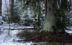 Snönedgångar i skogen med träd Intensiv snö täcker ögonblickligen yttersidan av skog- och trädfilialerna med ett lager av sno royaltyfria foton