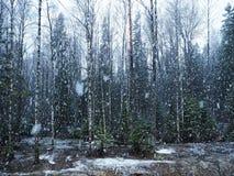 Snönedgångar i skogen med träd Intensiv snö täcker ögonblickligen yttersidan av skog- och trädfilialerna med ett lager av sno royaltyfria bilder