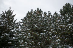 Snöräkningar sörjer trädet Arkivbilder