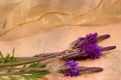 snöra åt lavendar Royaltyfria Bilder