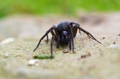 Snöra åt Weaver Spider Crawling Arkivbilder