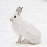 Snöskohare i profil Arkivbilder