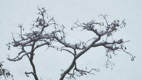 Snöstorm- och vinterträd sky för berg för belalakayacaucasus dombaj grå arkivfilmer