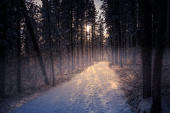 Snöträd i dimma Royaltyfri Foto