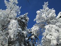 Snöträd på solig blå himmel Arkivbild