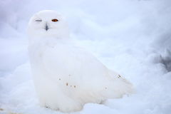 Snöuggla Royaltyfria Bilder