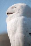 Snöuggla i stående Arkivfoto