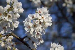 Snövit Bradford Pear Blossoms royaltyfri fotografi