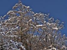 Snövit på bohem-MoravianSkotska högländernaTjeckien arkivfoto