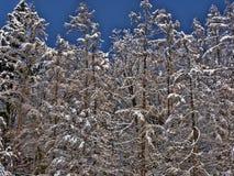Snövit på bohem-MoravianSkotska högländernaTjeckien arkivbild
