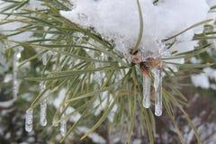 Snövit på den gröna filialen av granen i trädgården Royaltyfri Fotografi