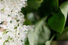 Snövita lilablommor fina blommor Royaltyfri Bild