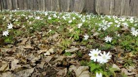 Sn?droppar i skogen i den tidiga v?ren L?sa blommor p? ?ngen Sn?droppev?rblommor arkivfoton