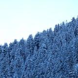 Sn?ig bergig alpin pinjeskog royaltyfria bilder
