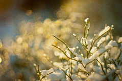 Snö-täckt växtsken på solen Arkivbilder