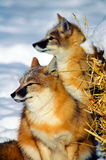 Snabb räv som två söker efter rovet i snö royaltyfri bild