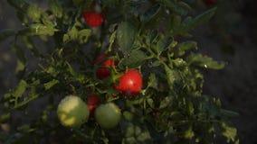 Snabba regndroppar faller ner på tomatbären och den vibrerande röda grönsaken för sidor som tänds av naturligt odla för skymnings lager videofilmer