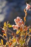 Snabbt blomma den asiatiska busken Haloxylon Fotografering för Bildbyråer