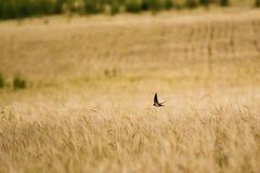 Snabbt flyg för fågel över vete royaltyfria foton