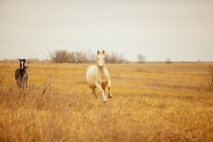 Snabbt växande hästar Royaltyfri Fotografi