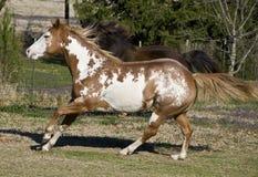 snabbt växande hästar Royaltyfria Foton