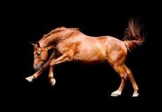 Snabbt växande kastanjebrun häst som isoleras på svart bakgrund Arkivfoton