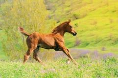 Snabbt växande kastanjebrunt föl i sommarfält Fotografering för Bildbyråer
