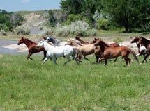 snabbt växande hästar Royaltyfri Foto