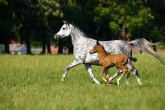 Snabbt växande hästar på betar Fotografering för Bildbyråer