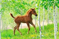 Snabbt växande kastanjebrunt föl i sommarfält Royaltyfri Bild