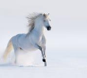 Snabbt växande vit häst Fotografering för Bildbyråer