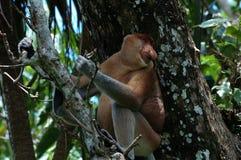 Snabelapa, Baco nationalpark, Borneo, Malaysia Fotografering för Bildbyråer