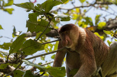 Snabelapa, Baco nationalpark, Borneo, Malaysia Arkivfoto