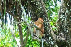 Snabelapa, Bako nationalpark, Borneo, Malaysia Royaltyfri Bild