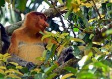 Snabelapa, Borneo, Malaysia Royaltyfri Fotografi
