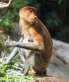 Snabelapa i en zoo Arkivfoton