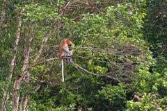 Snabelapa i rainforesten av Borneo Arkivbild
