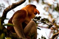 Snabelapa i skogen i Borneo arkivbild