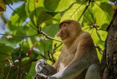 Snabelapa - Nasalislarvatus - i träd i de lösa djunglerna av Borneo T Arkivbilder