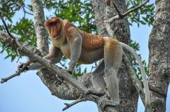 Snabelapa på Borneo arkivfoton