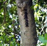 Snablar slår till - den Rhynchonycteris nasoen i Parque Nacional Palo Verde Fotografering för Bildbyråer