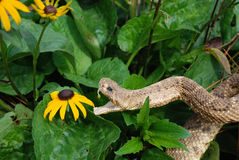 Snack Attack!. Rattle snake ready to attack a black-eyed susan Stock Photos