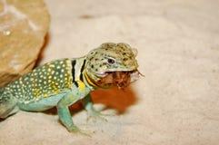 Snack Time. Texas lizard enjoying a snack Royalty Free Stock Photos
