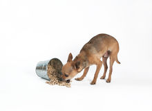 Snack time. A tiny chihuahua eating a bucket of biscuits Stock Images