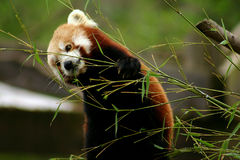 Snack time. Red Panda having a little snack Royalty Free Stock Photos